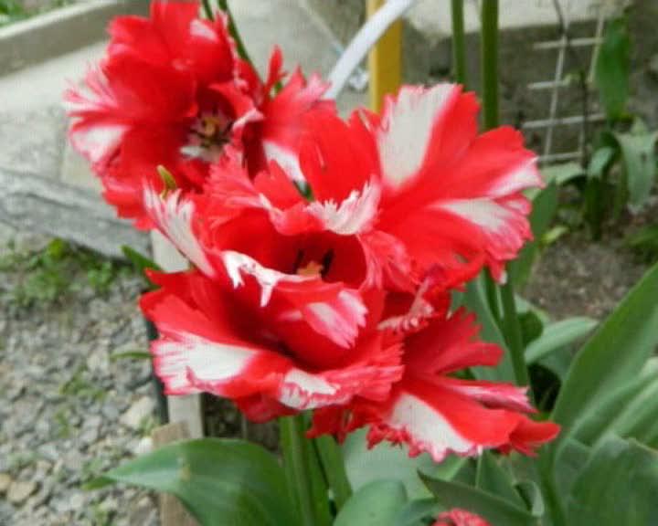 Тюльпаны в моем саду
