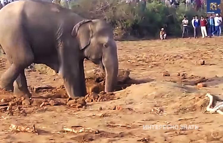 Мама-слон 11 часов подряд что-то копала. Причина ее поведения поразила всех присутствующих..