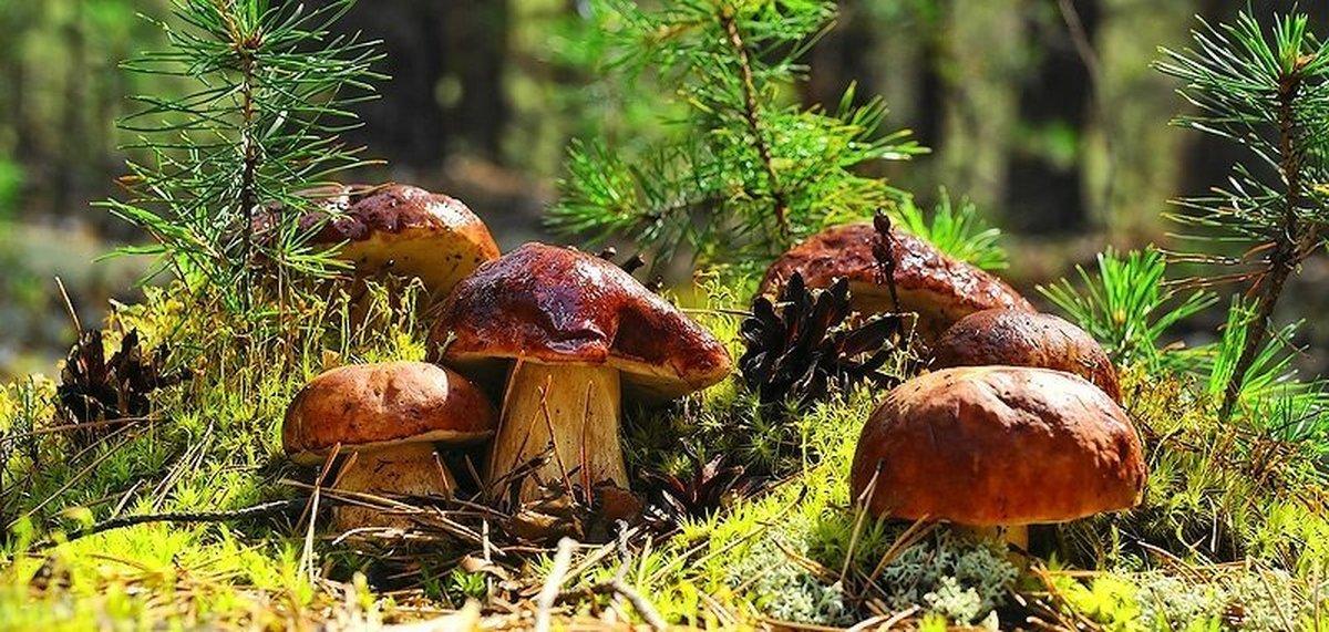 Почему грибы из леса едят только русские