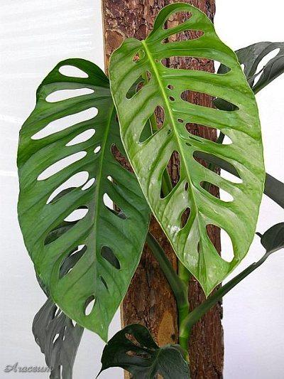 монстера косая мир растений