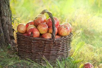Опавшие яблоки – отличное уд…