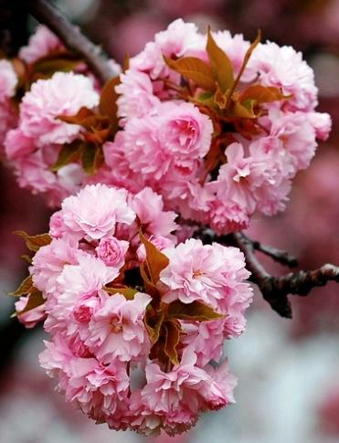 Весеннее цветение сакуры в Японии —  на главном дереве страны расцвели первые 5 бутонов