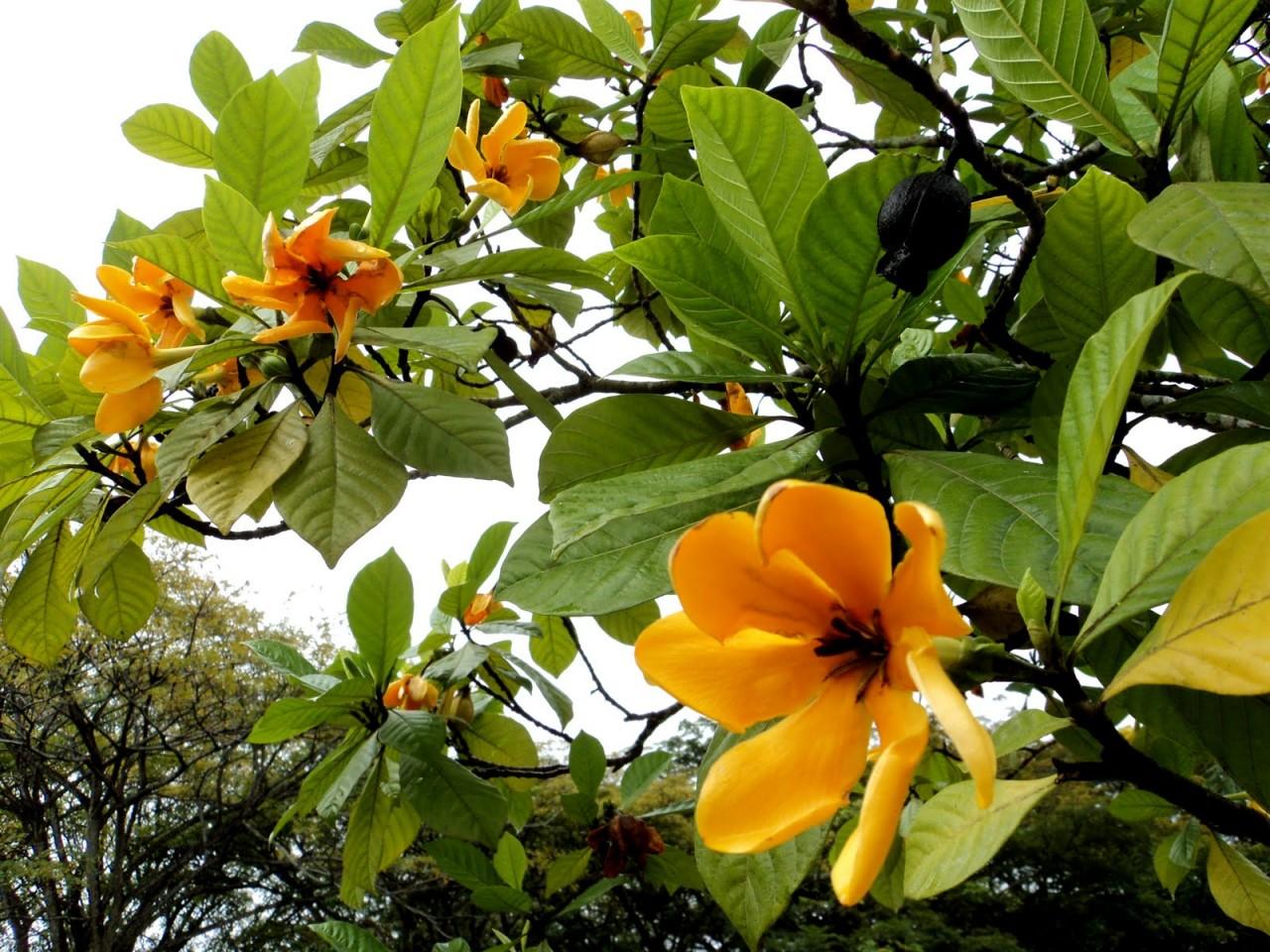 Тюльпановое дерево фото выращивание и уход в открытом