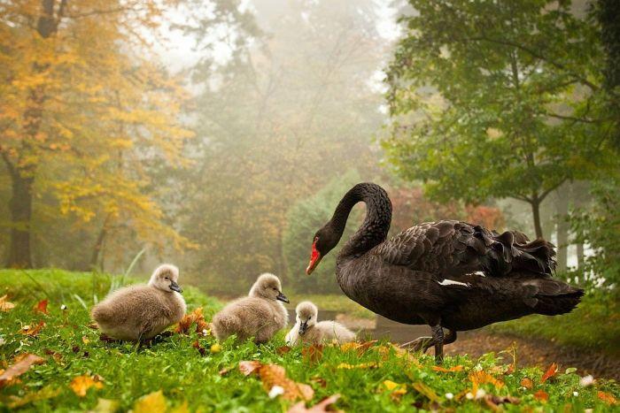 Черный лебедь прекрасен