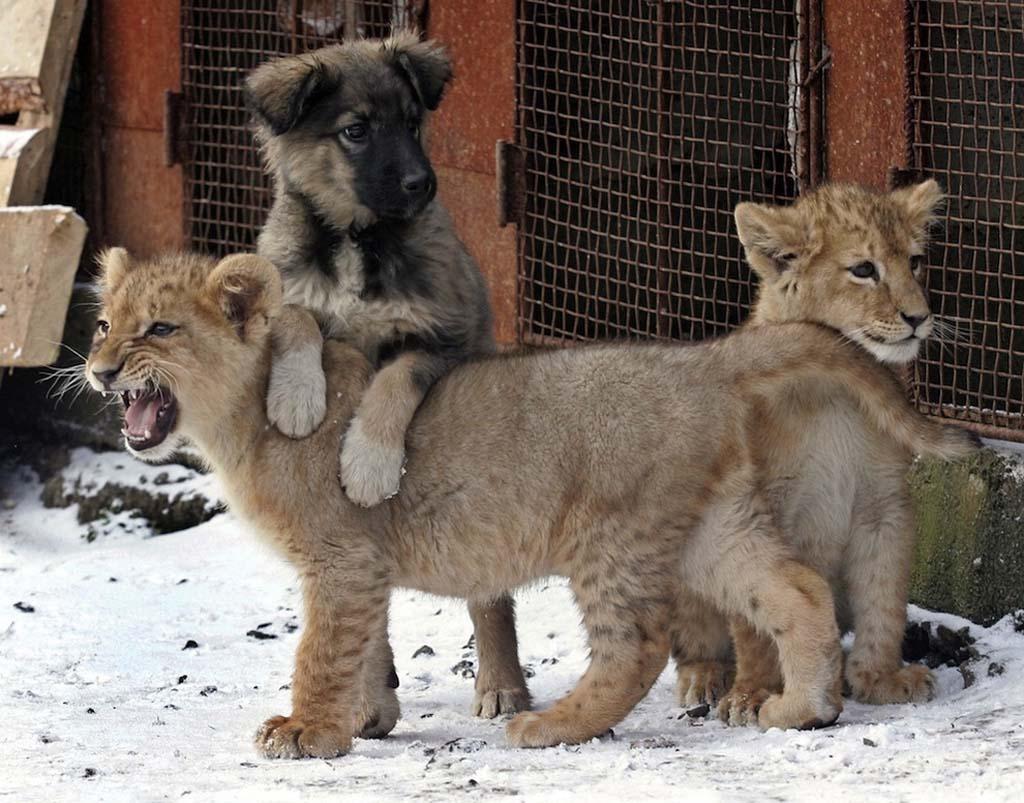 AnimalOddCouples 14 Самые странные парочки животных