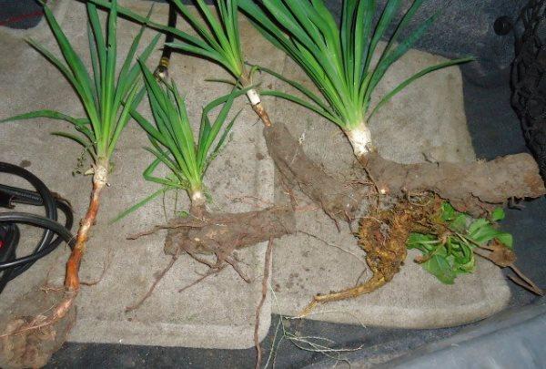Юкка размножение и уход в домашних условиях