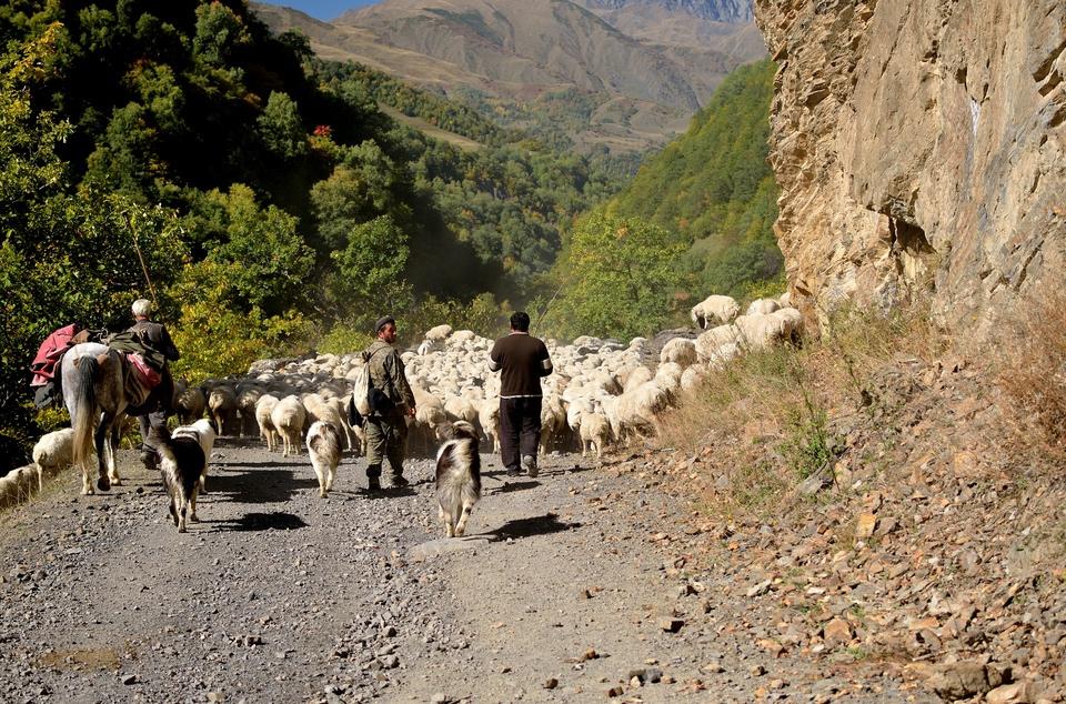 В Грузии пастуха обвиняют в …