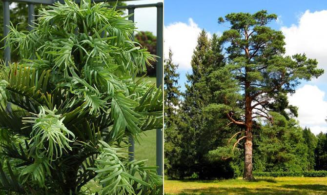 сосна вулеми - очень старые растения - Интересные факты о Сверхъестественном и Паранормальном