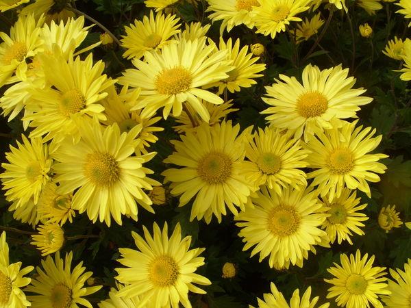 Хризантема сорт Золотой Подсолнух