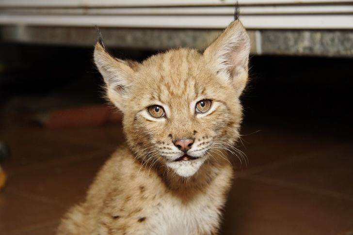 Кошка Дуся подружилась с дикой рысью и живет с ней в зоопарке уже 12 лет