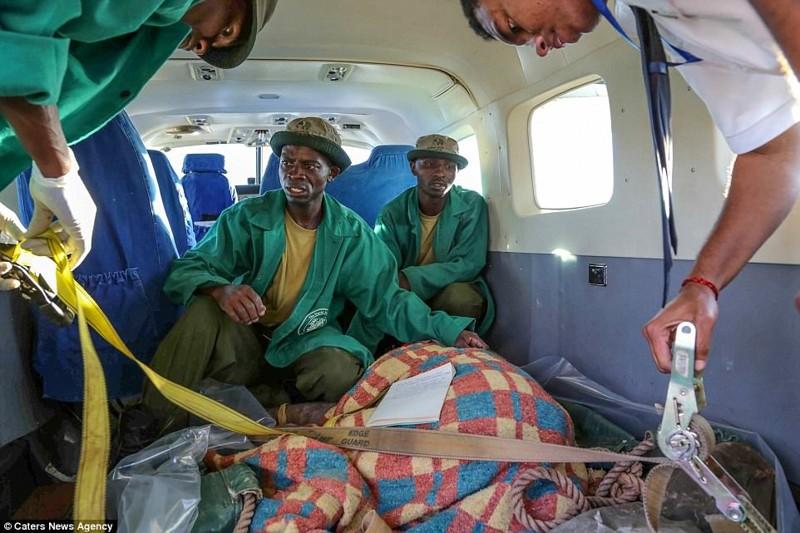 На самолете слониху доставили в национальный парк Найроби детеныш, животные, история, кения, люди, мир, слониха, спасение