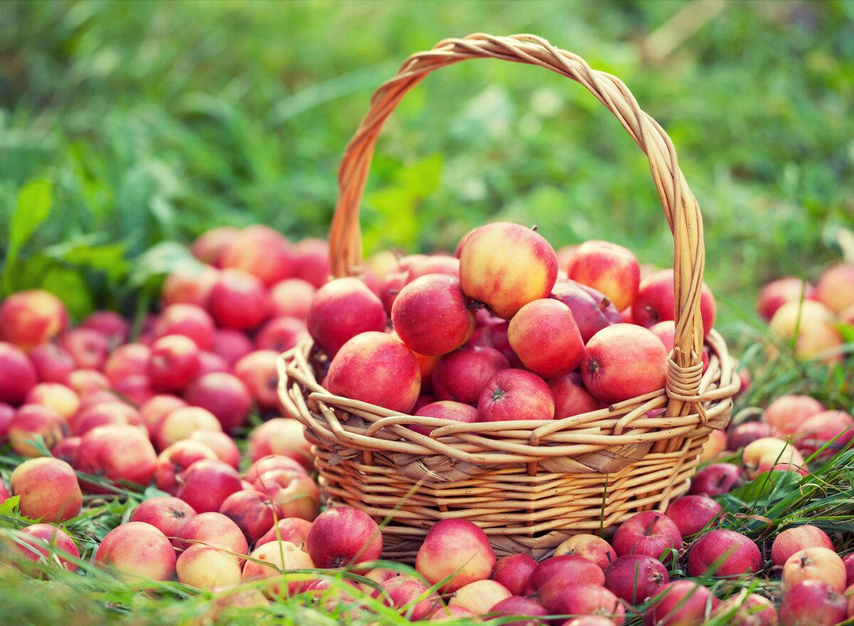 Как сохранить яблоки свежими…