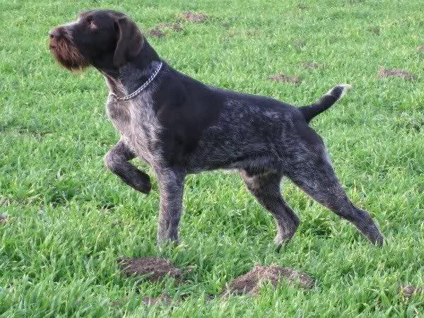 Охота с дратхааром на зайца: как не испортить собаку