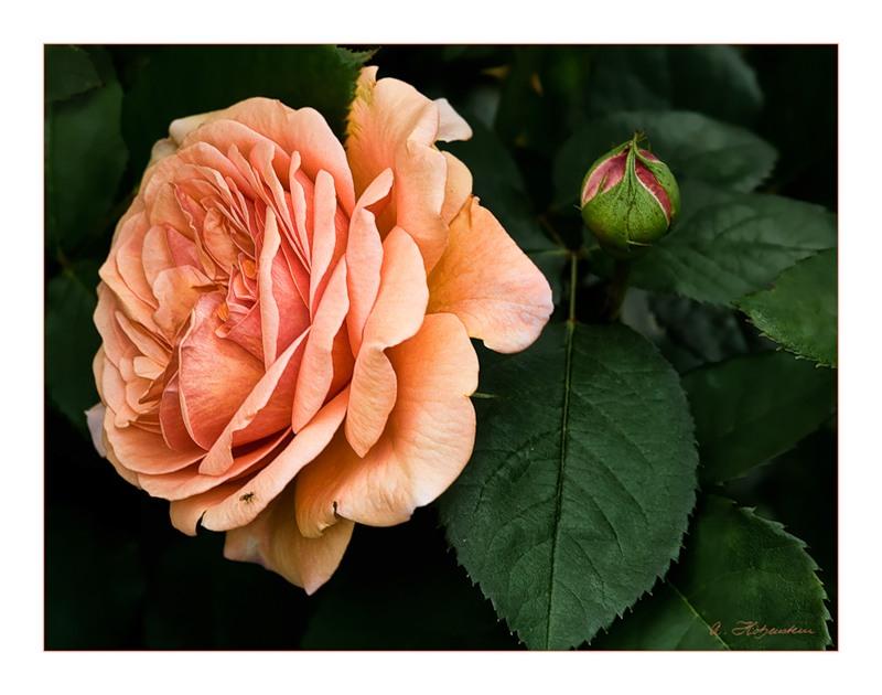 ***ПОЗИТИфЧИК***Прекрасные розы - прекрасным дамам!