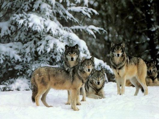 Стая волков помогала женщине…