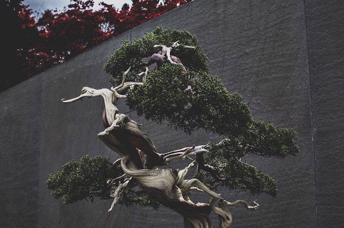 Многовековой бонсай. Фото: Stephen Voss.