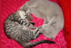 Подружить кошек