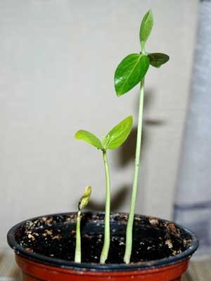 Как посадить хурму с косточки в домашних условиях
