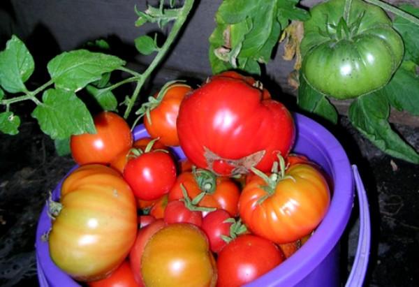 Озимая рассада: заботимся об урожае помидоров с осени