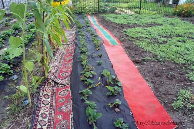 Застелил тропинки в саду... коврами