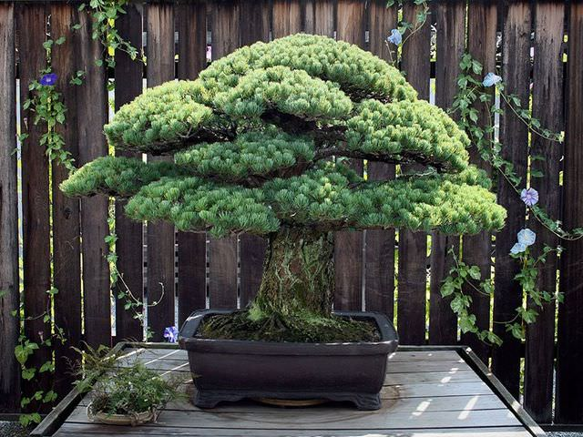 Как ухаживать за деревом бонсай