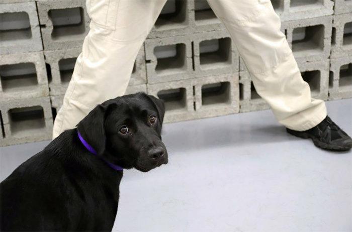 ЦРУ «уволило» лабрадора, которому было неинтересно искать взрывчатку