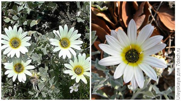 Арктотис красивый или стехасолистный. Фото с сайта plantgenesis.co.uk. Соцветие крупным планом. Фото с сайта kumbulanursery.co.