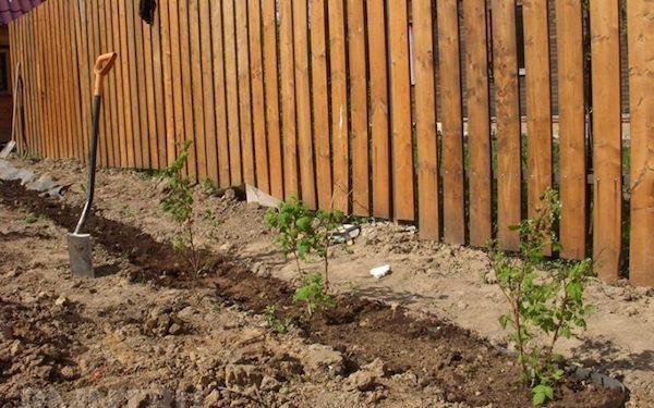 Влияет ли забор на урожай?
