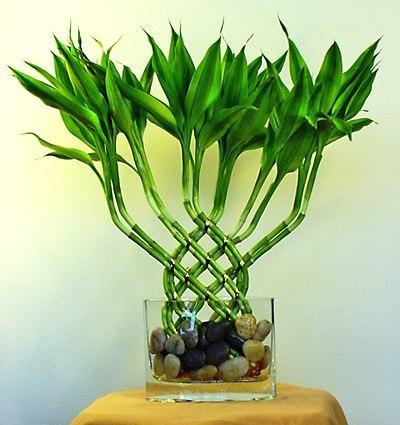 Счастливый бамбук: значение,…