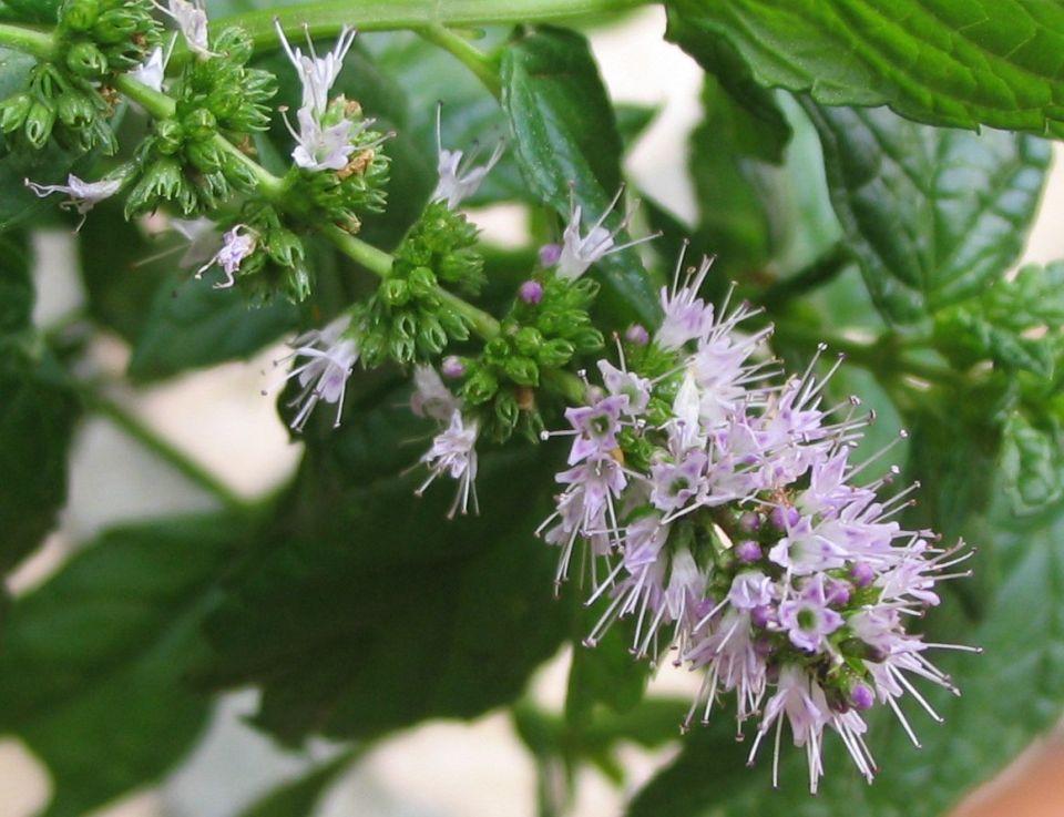 10 душистых трав, которые украсят ваш сад