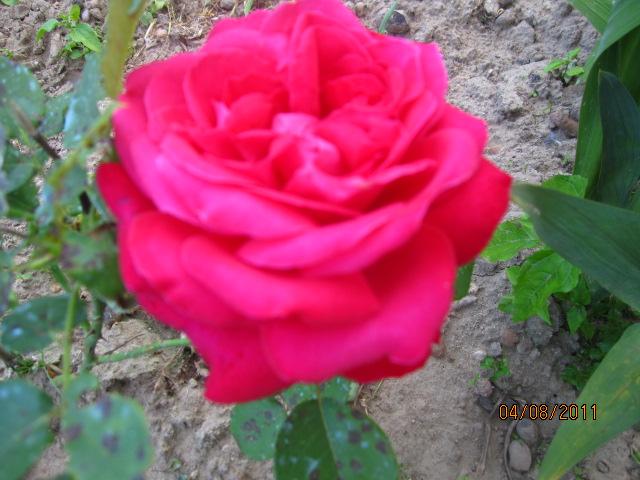 Вредители на розах. Как уберечь розы от вредителей