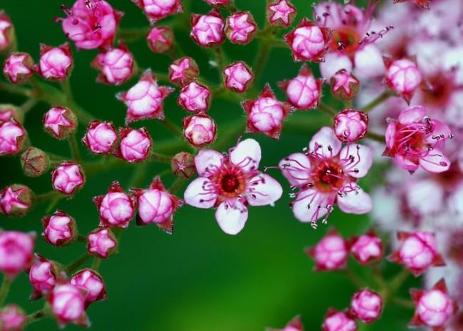 В нашей полосе основную популярность завоевали весеннецветущие спиреи с белыми цветами, но японская спирея не менее любима за потрясающую декоративность