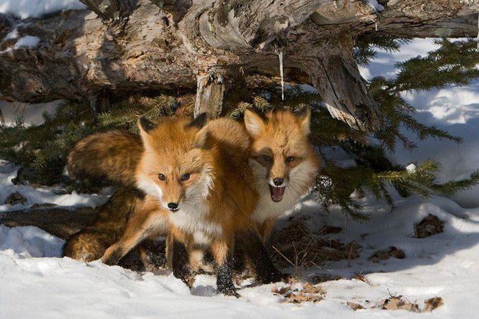 fox_20120409_00640_062 (700x500, 80Kb)