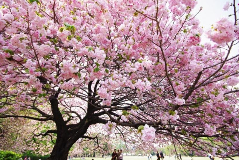 Цветущая бледно-розовая сакура. Фото