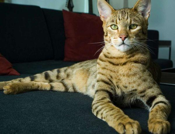 50e3341 Ашера - уникальная кошка-леопард