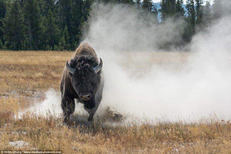 Когда на  тебя несется бизон тонной весом