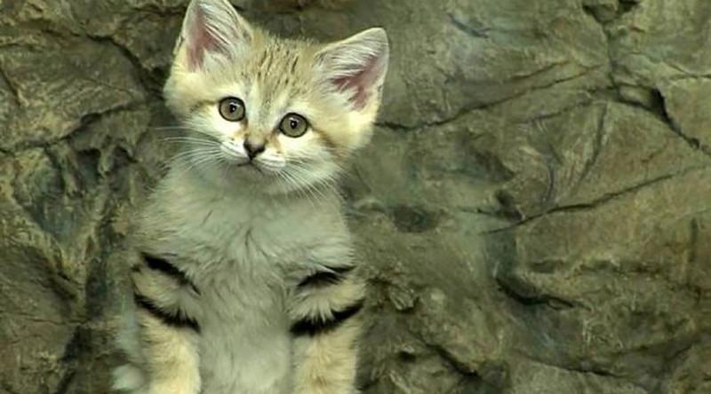 Барханный кот в мире, живность, животные, интересное, коты, кошки, подборка, хищник
