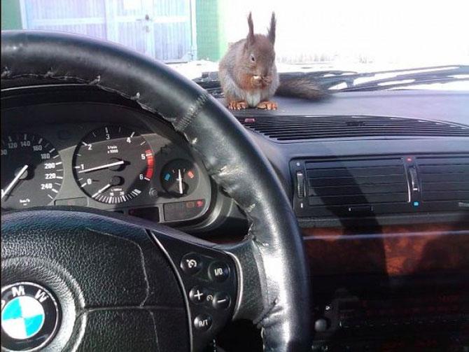 Необычный напарник минского таксиста