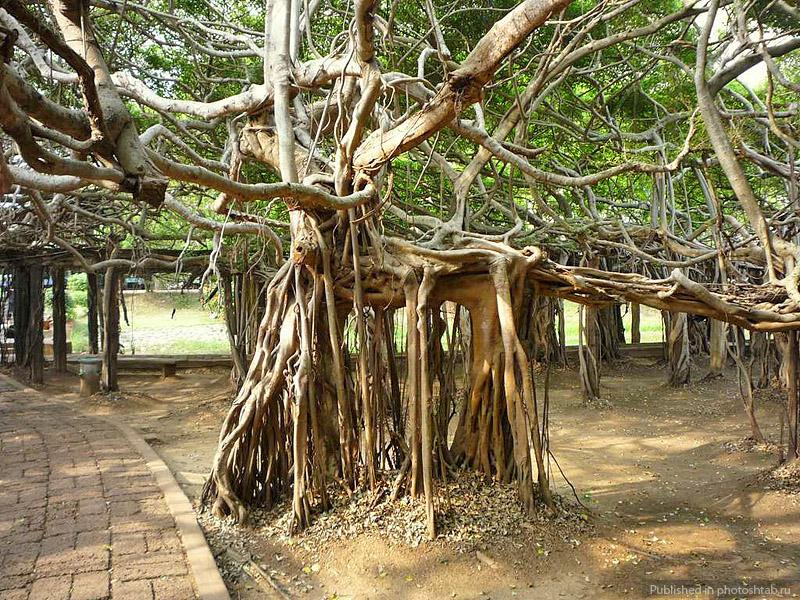 Великий баньян, Фикус бенгальский, самая большая крона в мире