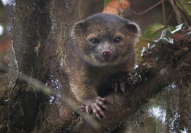 Олингито из Эквадора — первое новое млекопитающее, найденное в Западном полушарии за последние 35 лет.
