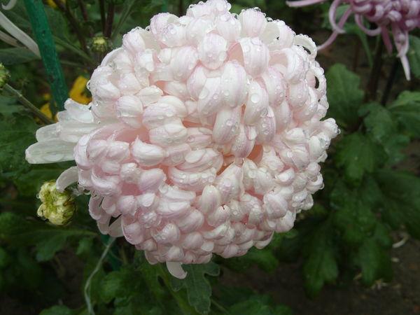 Хризантема сорт Белый Феникс