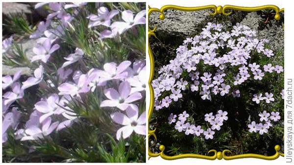 Линантус крупноцветковый. Фото с сайта seedterra.com. Портрет растения в рамке. Фото с сайта everwilde.com.