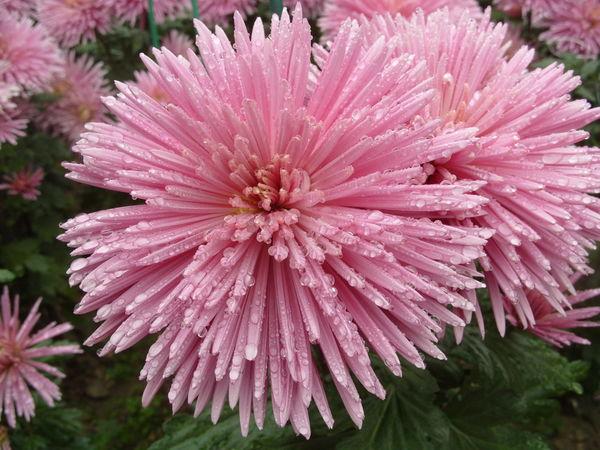 Крупноцветковая хризантема сорт Людмила