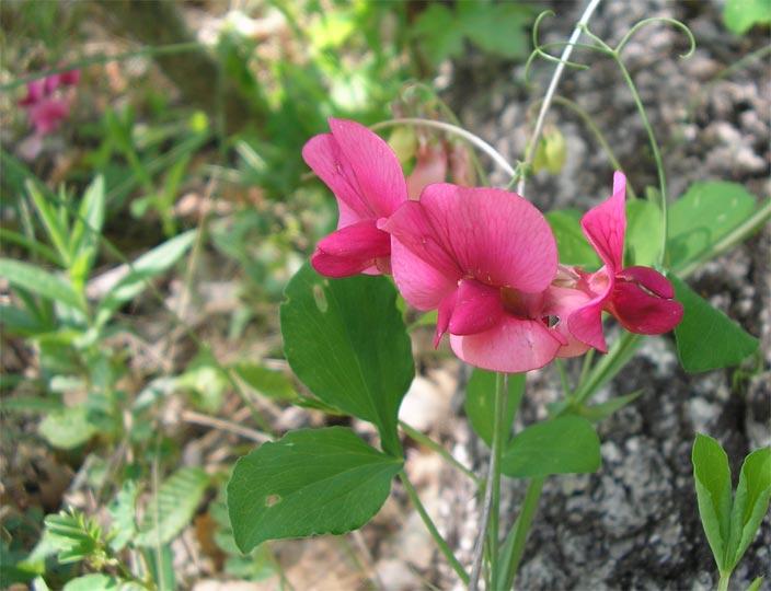 Чина круглолистная - Lathyrus rotundifolius - Изображение ра…