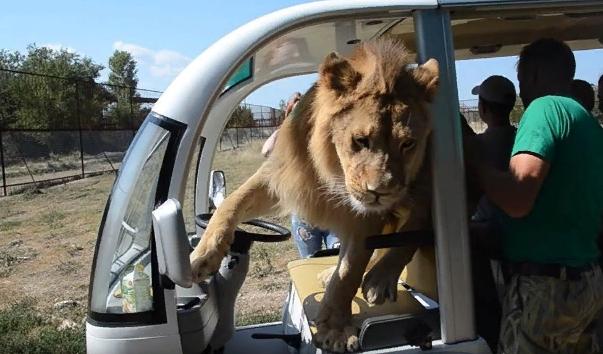 В крымском сафари-парке лев залез в машину к туристам