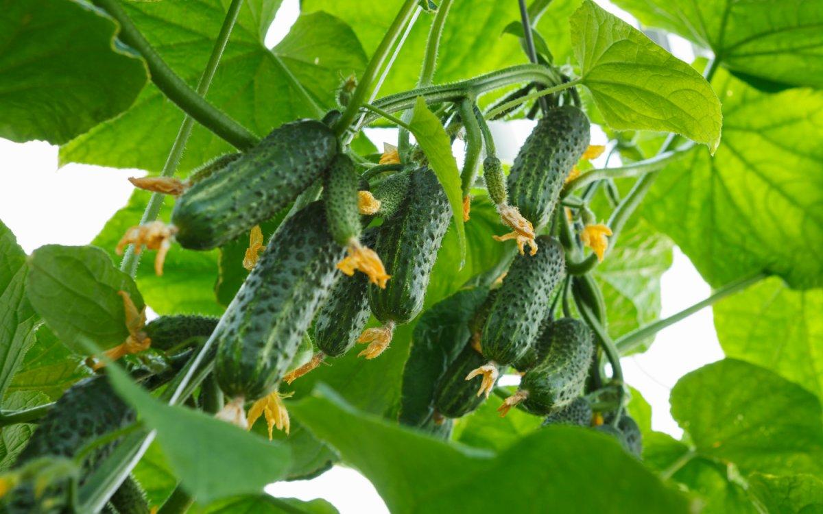Выбираем грунтовые сорта семян.