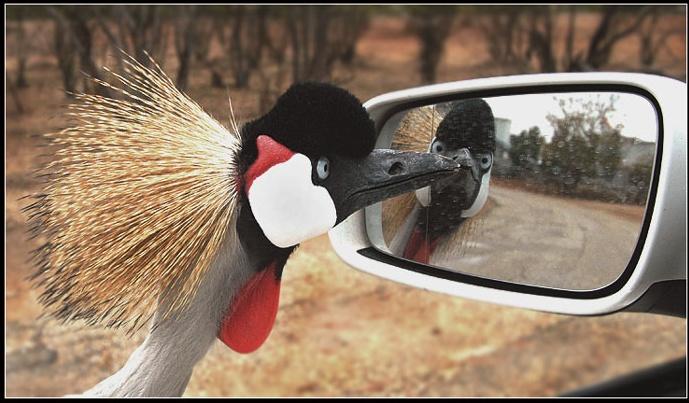 Птица отражается в зеркале. Фото