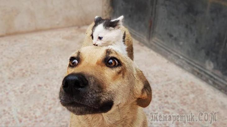 Одинокий котёнок убедил соба…