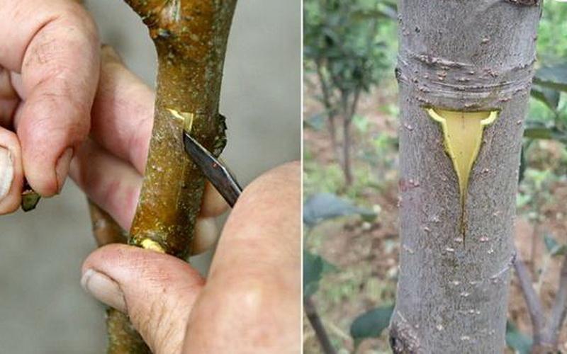 Как сделать прививку на ябло…