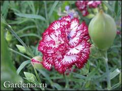 Гвоздика Шабо: зимовка в саду и черенкование